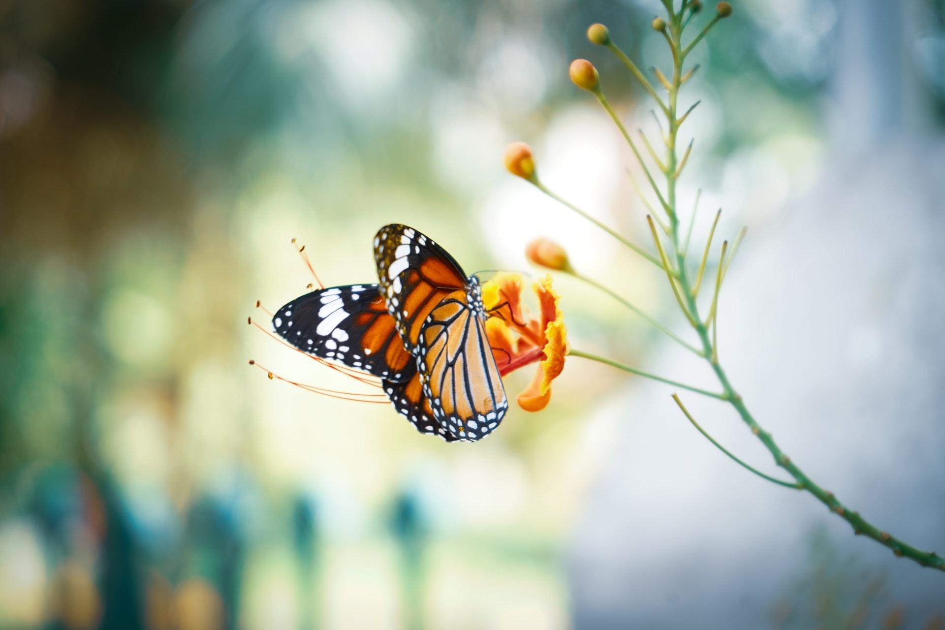 Papallona monarca Foto: Calvin Mano
